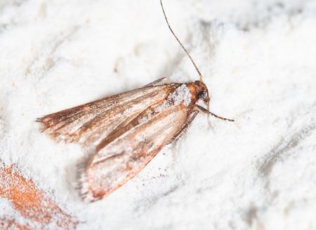 蛾は、パントリー蛾 (コナマダラメイガ kuehniella) を小麦粉します。 写真素材