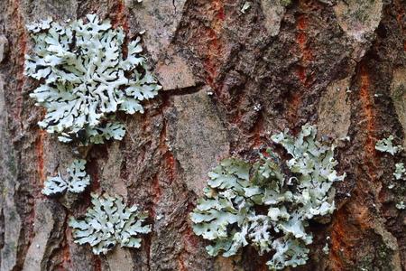 unobtrusive: Lichen, Hypogymnia physodes growing on a tree trunk