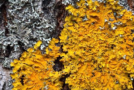 unobtrusive: Xanthoria parietina. Orange lichen on a tree trunk