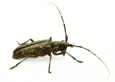 long horn beetle: Marmorated Longhorn Beetle (Monochamus sutor) on white background Stock Photo