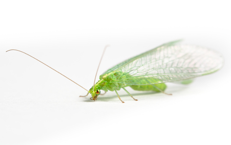 chrysoperla: Chrysopidae green lacewing