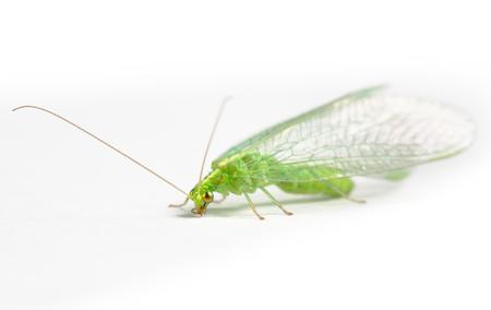 chrysopidae: Chrysopidae green lacewing