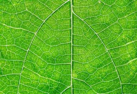Close up view of green leaf and veins