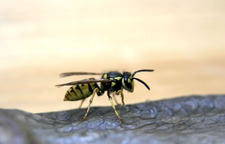 the close-up single wasp sitting on the stockfish Stock Photo