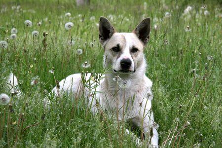 the white mongrel dog sitting in dundellion field Stock Photo - 3561146