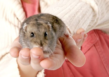 grey domestic hamster sitting in children hands photo