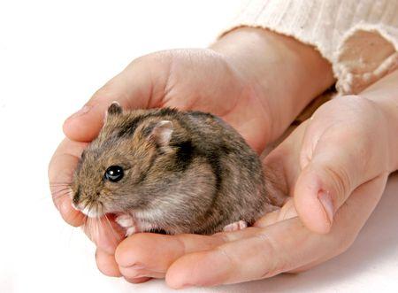 grey domestic hamster sitting in children hands Stock Photo