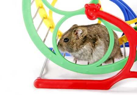 grey domestic hamster sitting on the metal and plastic wheel