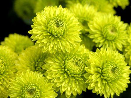 the beautiful green blossom flowers of chrysanthemum balloon Stock Photo