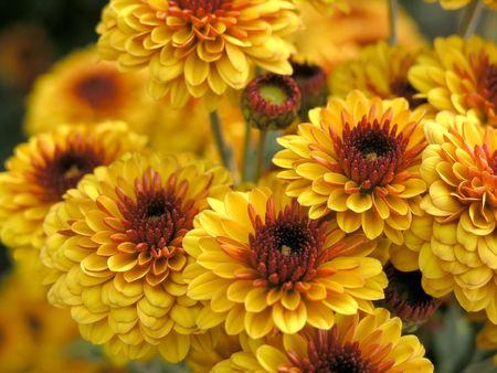 the beautiful orange blossom flowers of chrysanthemum