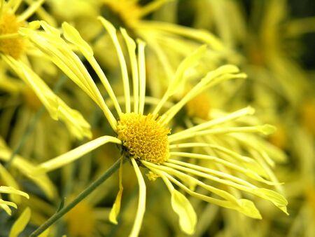 the beautiful yellow blossom flowers of chrysanthemum Stock Photo