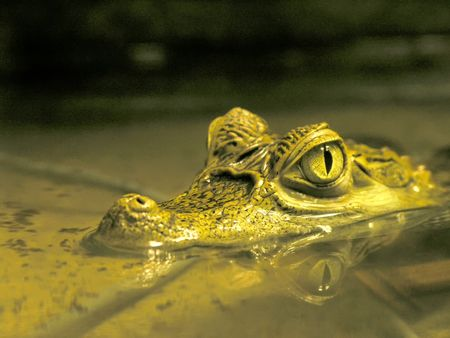 the close-up head of caiman crocodilus look from water Stock Photo