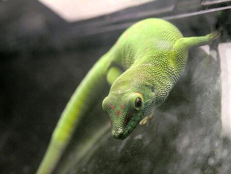 close-up view of Madagascar Giant Day Gecko (Philsuma Madgaskariensis Grandis) photo