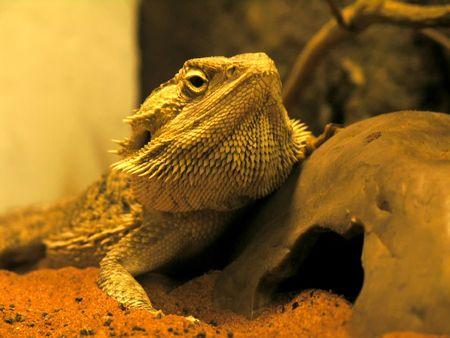 the close-up view of bearded agama lizard (pogona vitticeps) Stock Photo