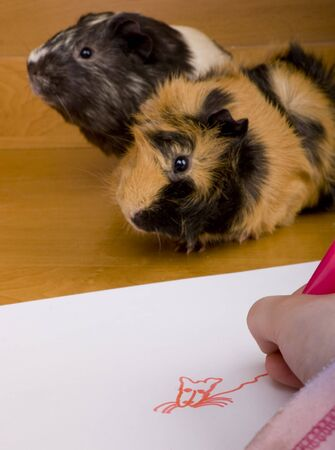 guinea pig: little child drawing a guinea pig from nature