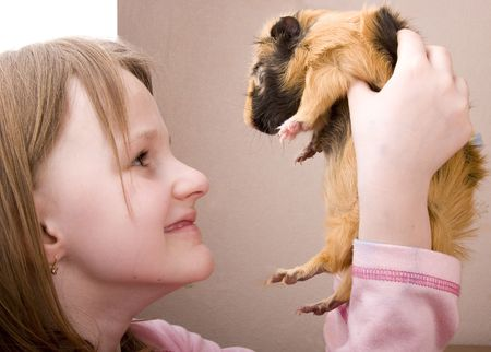 guinea pig: close-up little girl holding orange domestic guinea pig Stock Photo