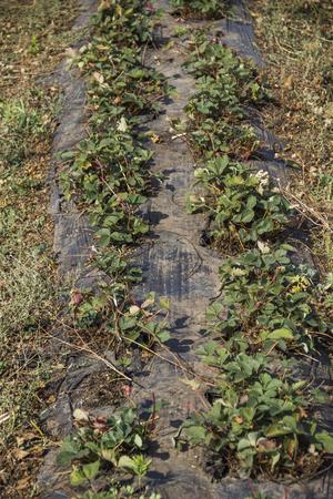 acreage: field of strawberry at the fall season