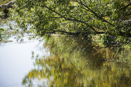 rushy: willow leaves under still river