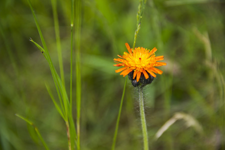 hawkweed: close-up single orange blossoming hawkweed at the meadow