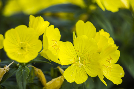 close-up blossoming yellow flowers of common evening-primrose Stock Photo
