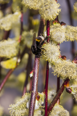 close-up of bumble-bee on the willow catkins Stock Photo