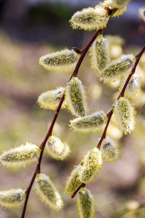 close-up of blossoming willow catkins