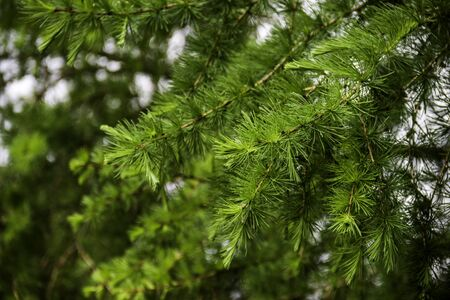 close-up branch of larch with blurry background