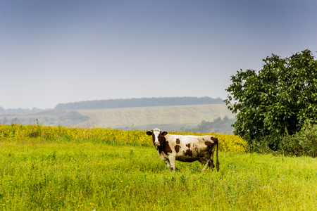 one cow grazing in the field of green grass