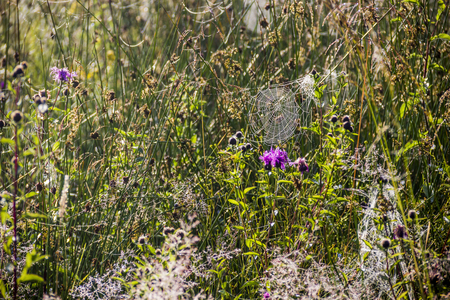 close-up of the spiderweb with drops in the morning meadow