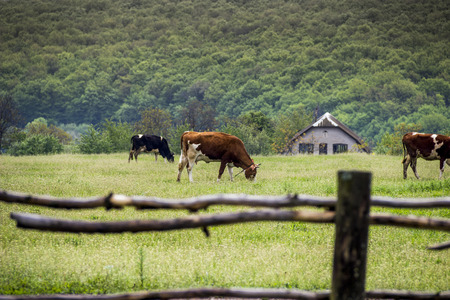 cows grazing in the field of green grass