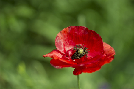 Close-up de una flor roja de amapola de maíz (Papaver rhoeas) Foto de archivo