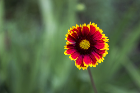 close-up blossoming flower blanketflower (gaillardia aristata) Imagens