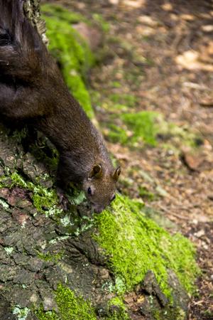 close-up carpathian squirell (Sciurus vulgaris carpathicus) on the fir tree