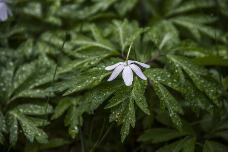 close-up a blossoming flowers of the white wood anemone (anemone nemorosa) with morning dew in the forest glade early in the morning