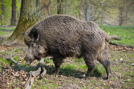 wild hair: Wild-boar in the forest
