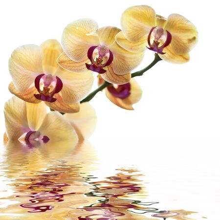 white orchid: Yellow Orchid on white background with reflection Stock Photo