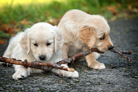 Two puppies golden retriever to biting branches Stock Photo - 12853951
