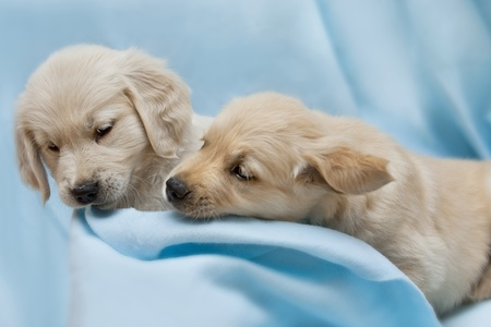 Two small puppyl - golden retriver Stock Photo