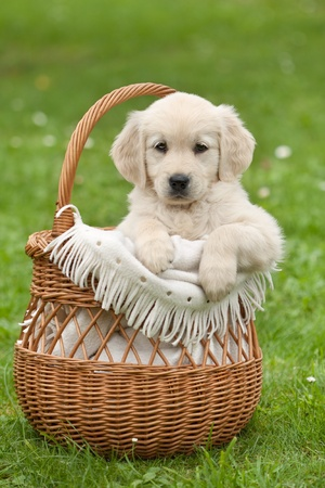 Golden Retriever puppy in a wicker basket