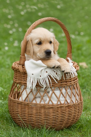 Golden Retriever puppy in a wicker basket photo
