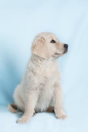 animalitos tiernos: Cachorro pequeño hermoso sobre fondo azul - Golden Retriever Foto de archivo