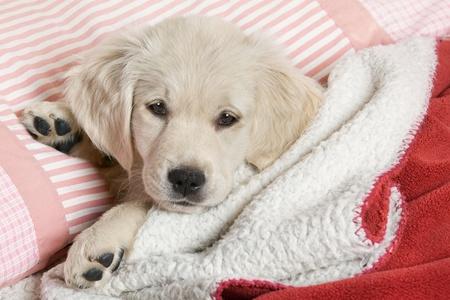 amor adolescente: Peque�a puppyl - golden retriever Foto de archivo