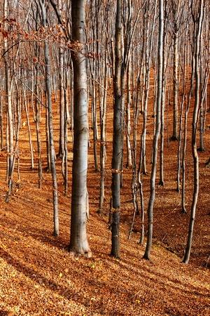 autumn colour: Colour beech forest in autumn  Stock Photo