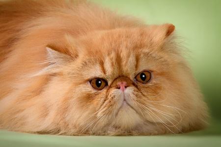 Portrait of beautiful cats on greenish background