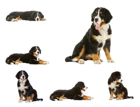 berner: collage puppy bernese mountain dog - 4 months (berner sennenhund, bernois)   Stock Photo