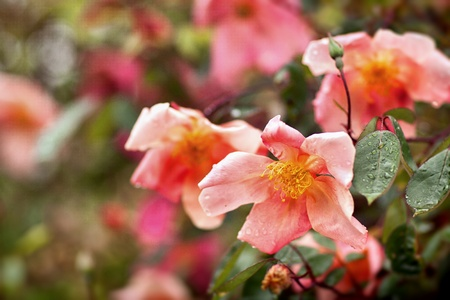 Beautiful blossom roses  with raindrops   photo