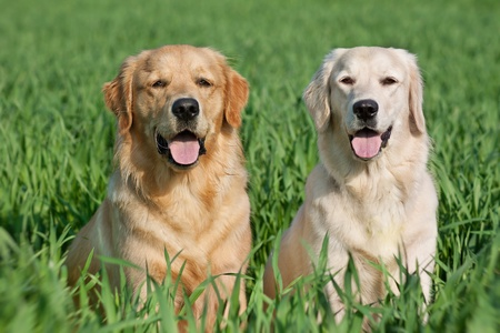 Close Up pair of purebred playful golden retriever dogs outdoors on green grass Stock Photo