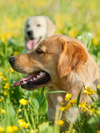 Portrait of two young dogs playing in the meadow Stock Photo - 12851792