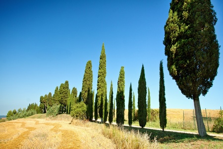 cypress with blue sky and wheat photo