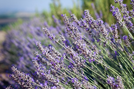Close-up of lavender in a field with shallow depth of field  photo